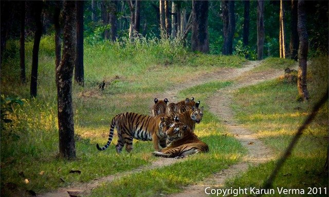 Collared tigress, the mother of Sula's cubs, and her 3rd litter (c) Karun Verma