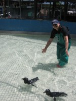 Caring for a few penguin chicks, ensuring they are healthy to swim on their own.