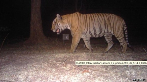 A photograph of the tiger in Bandipur which killed humans. The tiger was captured later.