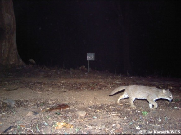Rusty Spotted Cat (Photo by Ullas Karanth/WCS)