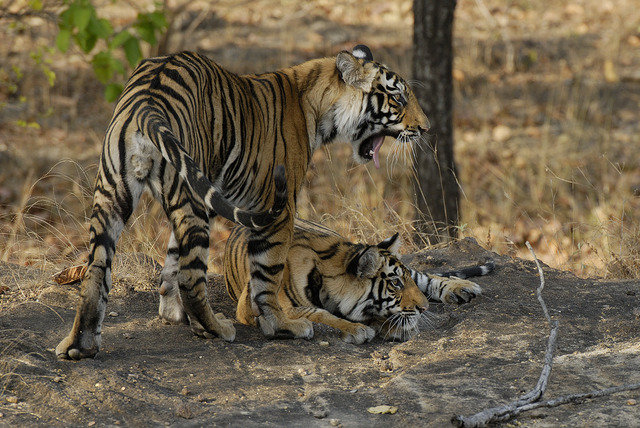 Wakeeta's firts litter, big male cub W1 and her little girl W3 (c) Kay Hassall Tiwari