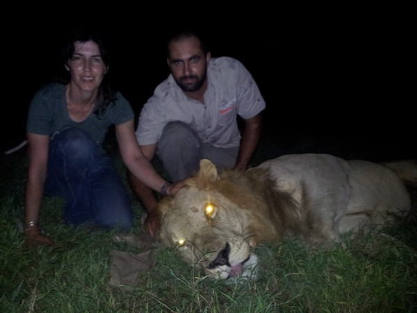 Paola Bouley (left) and Rui Branco (right) collar the 1st lion.  (Photograph by James Byrne)