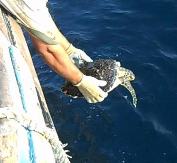 A hawksbill turtle being returned to sea after becoming entangled in fishing gear in the waters off Pakistan in January, 2014.