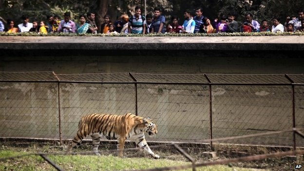 A tiger turning to human prey is 'a rare aberration'