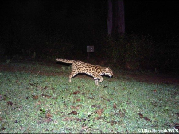 Leopard Cat (Photo by Ullas Karanth/WCS)