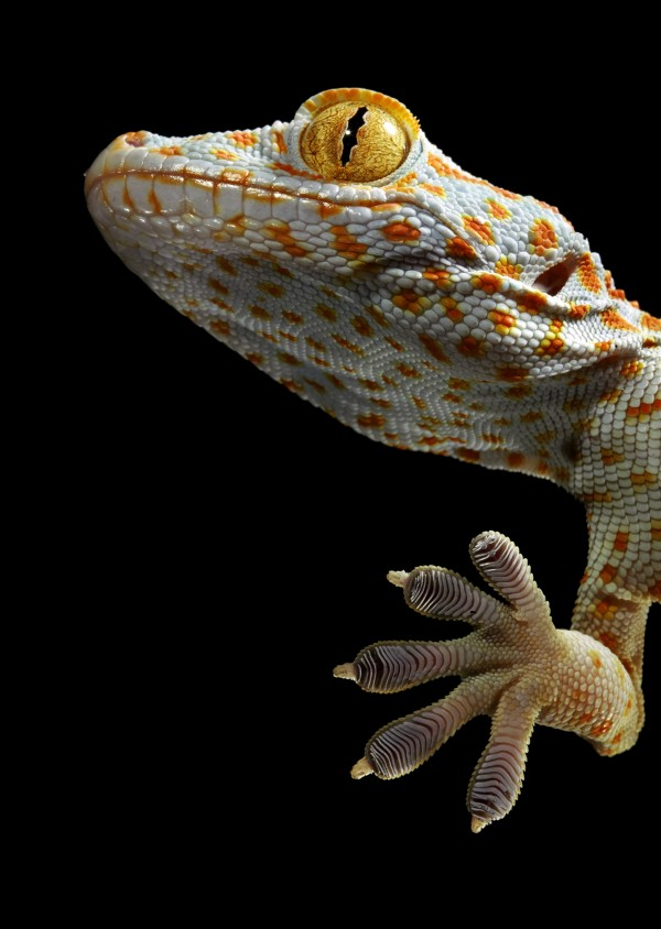 Microscopic hairs on a female tokay gecko's feet adhere to surfaces. Photograph by Robert Clark, National Geographic