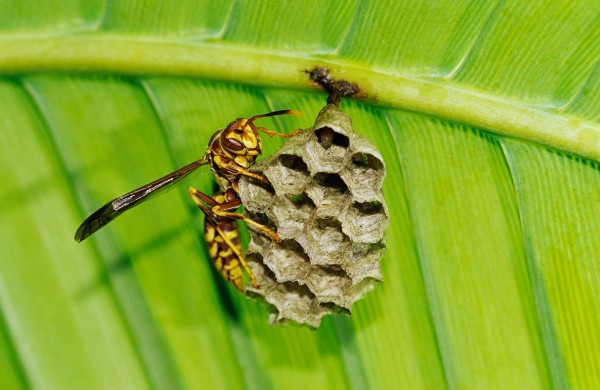 A paper wasp clings to its nest in Texas's Rio Grande Valley. Photograph by Rolf Nussbaumer Photography, Alamy