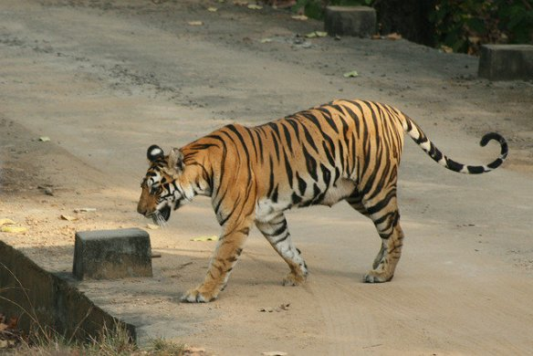 Wakeeta heavy with milk for her second litter of four cubs, crossing near Lakhumar meadow (c) Shiv Kumar Tiwari