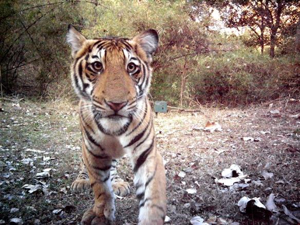 A curious Tiger cub in Bhadra Tiger Reserve triggers the Camera trap. ©Ullas Karanth/WCS