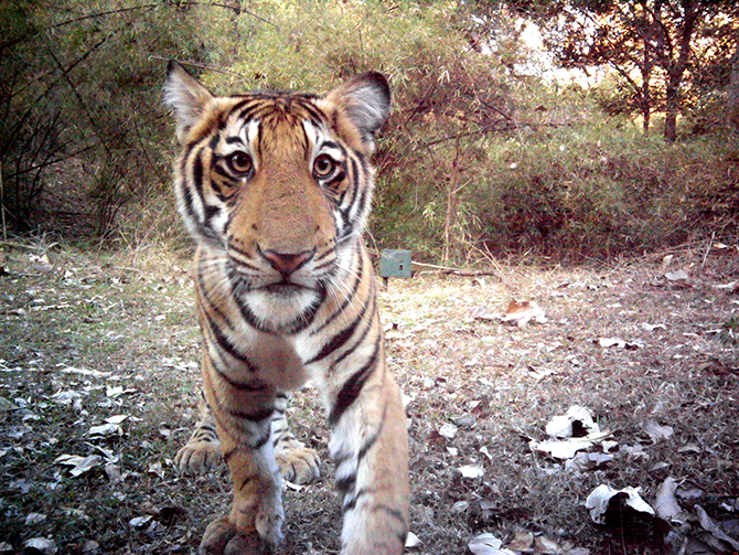 A curious Tiger cub in Bhadra Tiger Reserve triggers the Camera trap. ©Ullas Karanth/WCS