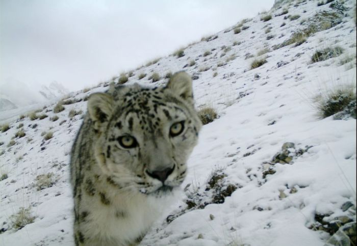 PHOTOGRAPH BY RICHARD BISCHOF, NORWEGIAN UNIVERSITY OF LIFE SCIENCES/SNOW LEOPARD FOUNDATION PAKISTAN
