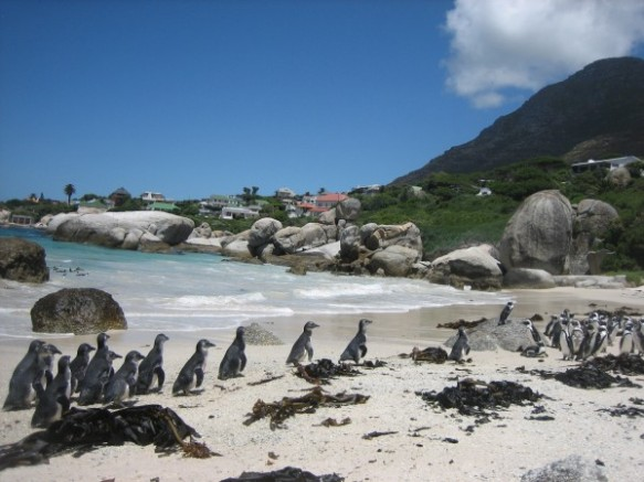 Healthy African penguin chicks released back into the wild.