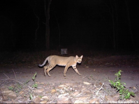 Jungle Cat (Photo by Ullas Karanth/WCS)