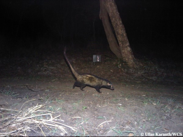 Common Palm Civet (Photo by Ullas Karanth/WCS)