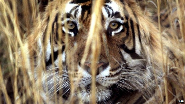 "It is not possible to describe the terror of living in the shadow of a ""man-eating"" tiger"