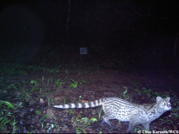 Small Indian Civet (Photo by Ullas Karanth/WCS)