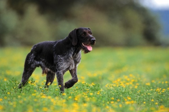 A German wirehaired pointer walking on a field. Photograph by Juniors Bildarchiv, Alamy