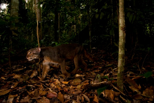 An elusive bay cat was recently caught on camera in Borneo Credit: Sebastian Kennerknecht | Panthera