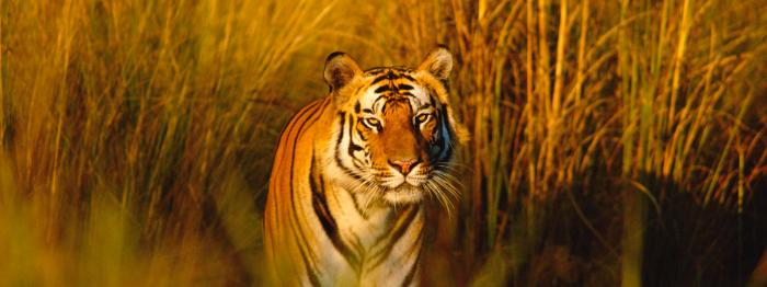 Bengal tiger portrait, Bandhavgarh NP, Madhya Pradesh, India