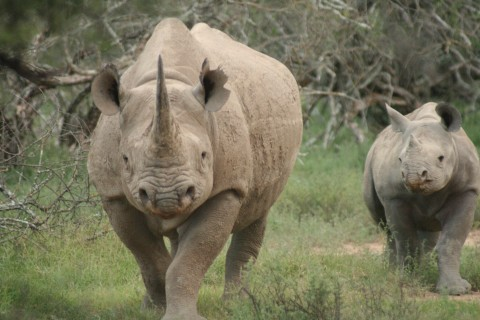 Black rhinos, photo courtesy of Black Rhino Monitoring Project sponsored by the David Shepherd Wildlife Foundation.