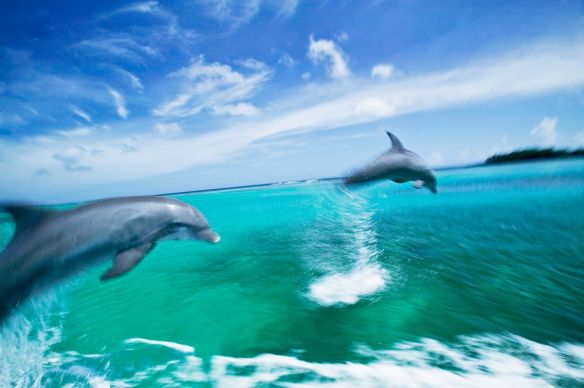 Bottlenose dolphins leap from the water in the Caribbean Sea. Photograph by Stuart Westmorland, Corbis