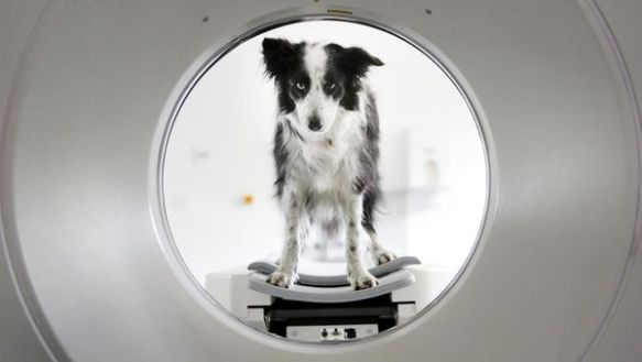 Scrooble the dog, who overcame cancer, looks through a CT scanner. PHOTOGRAPH BY DANNY LAWSON, PA WIRE VIA AP