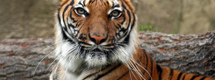 Indochinese tiger, Thailand