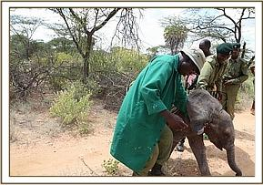 Losesia is rescued. Photo: The David Sheldrick Wildlife Trust