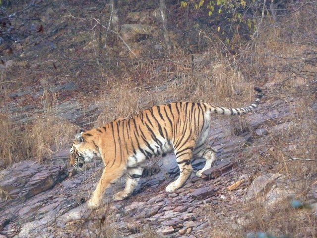 The last photo we have of Machali now moved to Phili Ghat. (c) Yadvendra Singh