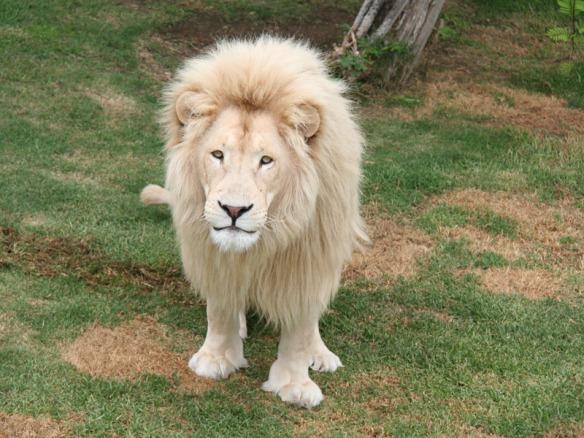 male-white-lion-1307957086