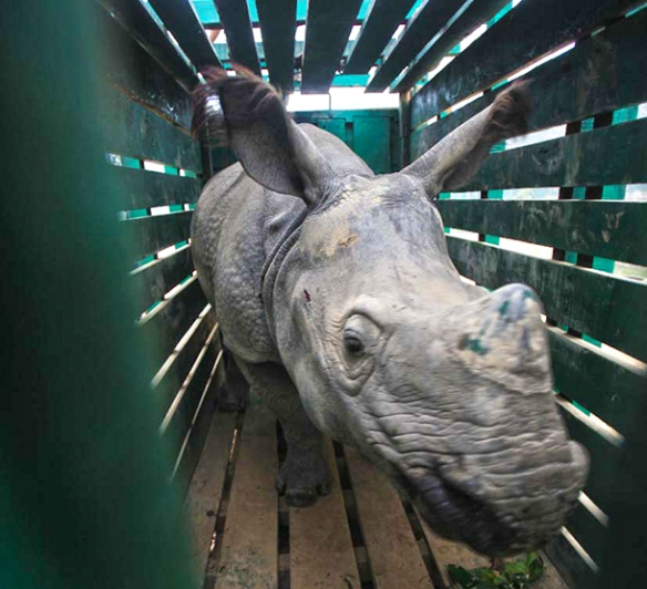 One of two four year old male rhinos in his enclosure during transport to UNESCO World Heritage site, Manas National Park in Assam India. c. IFAW/WTI