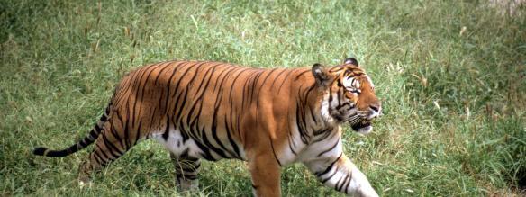 South China tiger, Beijing zoo, China