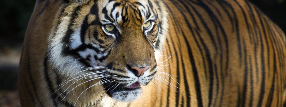 sumatran-tiger-hero_92514619