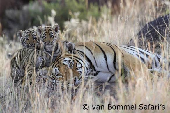 Ussuri and her 3 cubs at Tiger Canyons, South Africa. Photo: Van Bommel Safari's