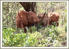 Ziwa enjoying fresh greens in the bush.
