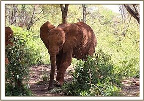 Ziwa is setting in well. Photo: The David Sheldrick Wildlife Trust