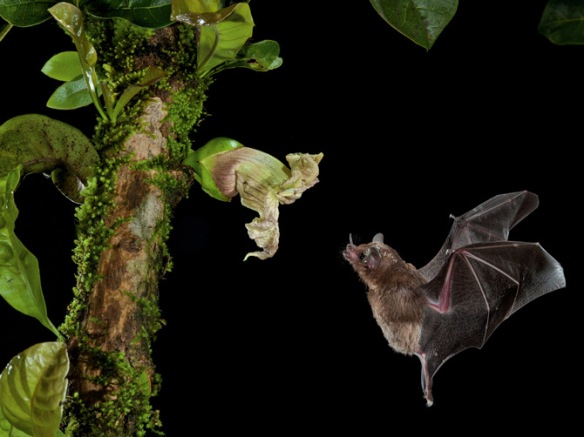 Photograph by Merlin D. Tuttle This flower's shape and exposed position cater to a bat's ears. Plant: Crescentia cujete Bat: Glossophaga commissarisi