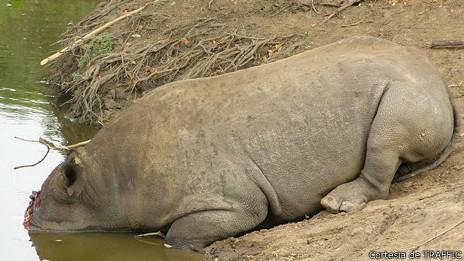140217165011_cuerno_rinoceronte_rinoceronte_muerto_464x261_cortesiadetraffic