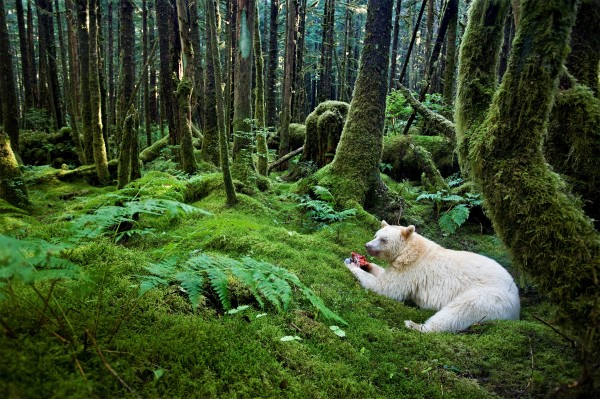 A Kermode bear eats a fish in the rain forest. Photograph by Paul Nicklen, National Geographic.