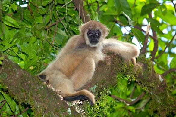 O muriqui-do-sul (Brachyteles arachnoides) é considerado espécie ameaçada de extinção segundo a lista vermelha da IUCN (União Internacional para a Conservação da Natureza, na sigla em inglês) – Foto: Ricardo Martins