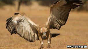 Las poblaciones de buitres han caído en picada en África y Asia.