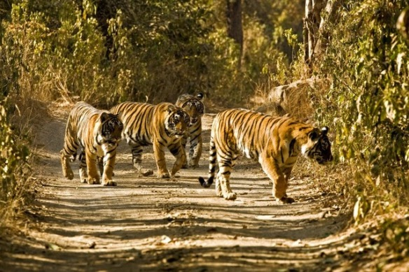 Four tigers walking on the forest tracks of Ranthambore tiger reserve