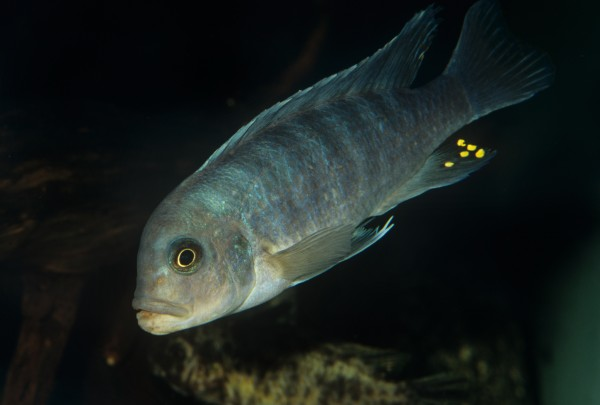 A cichlid swims in Lake Malawi, Africa. Photograph by David Wrobel, Visuals Unlimited/Corbis