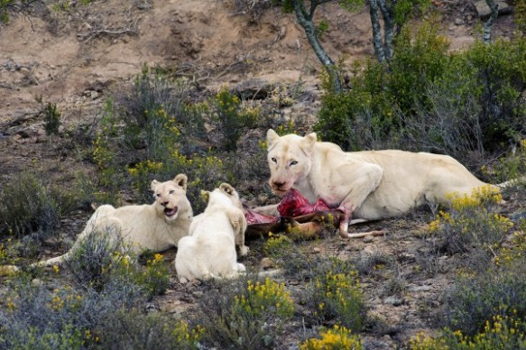 White lions feed on a gazelle in South Africa's Sanbona Wildlife Reserve. Photograph by Luciano Candisani, Minden Pictures/Corbis