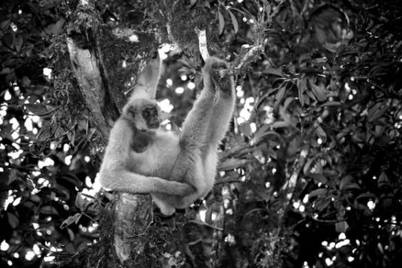 """Os índios chamam os muriquis de """"povo manso da floresta"""" devido aos hábitos pacatos do primata – Foto: Ricardo Martins"""