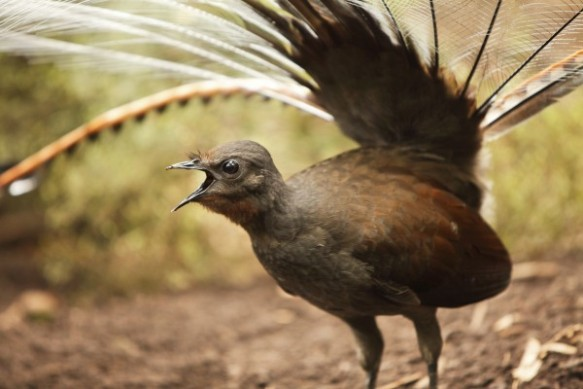 A lyrebird sings. Photograph by Craig Dingle, Getty