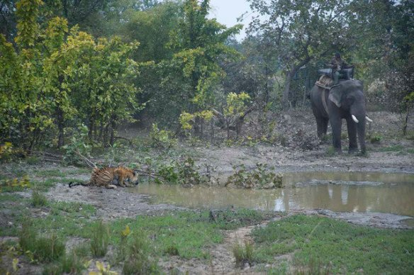 Shashi visits a pool for a drink while being herded back to the park boundaries (c) Satyendra Tiwari
