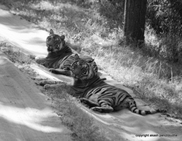 Yoshila or the Sukkia Pathia Female's sub adult cubs (c) Akash Panchbudhe