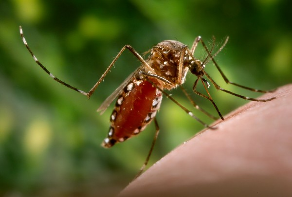 A female Aedes aegypti mosquito. Photograph by Kallista Images, Getty