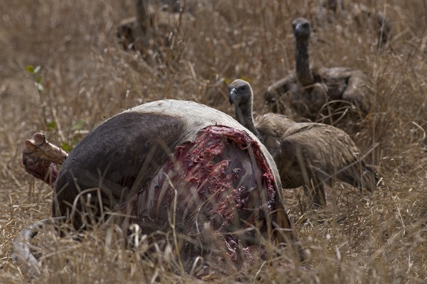 Vultures feed on an partly-eaten sable. (Photograph by Piotr Naskrecki)